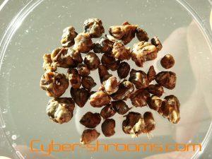 Truffles Panaeolus cambodginiensis