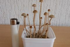 Growkit Psilocybe atlantis