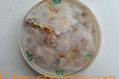 Psilocybe tampanensis petris mixed