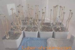 Panaeolus tropicalis