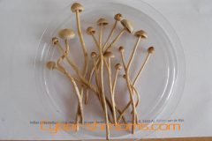 Mushrooms Psilocybe atlantis