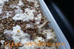 Psilocybe tampanensis growkit (GT)