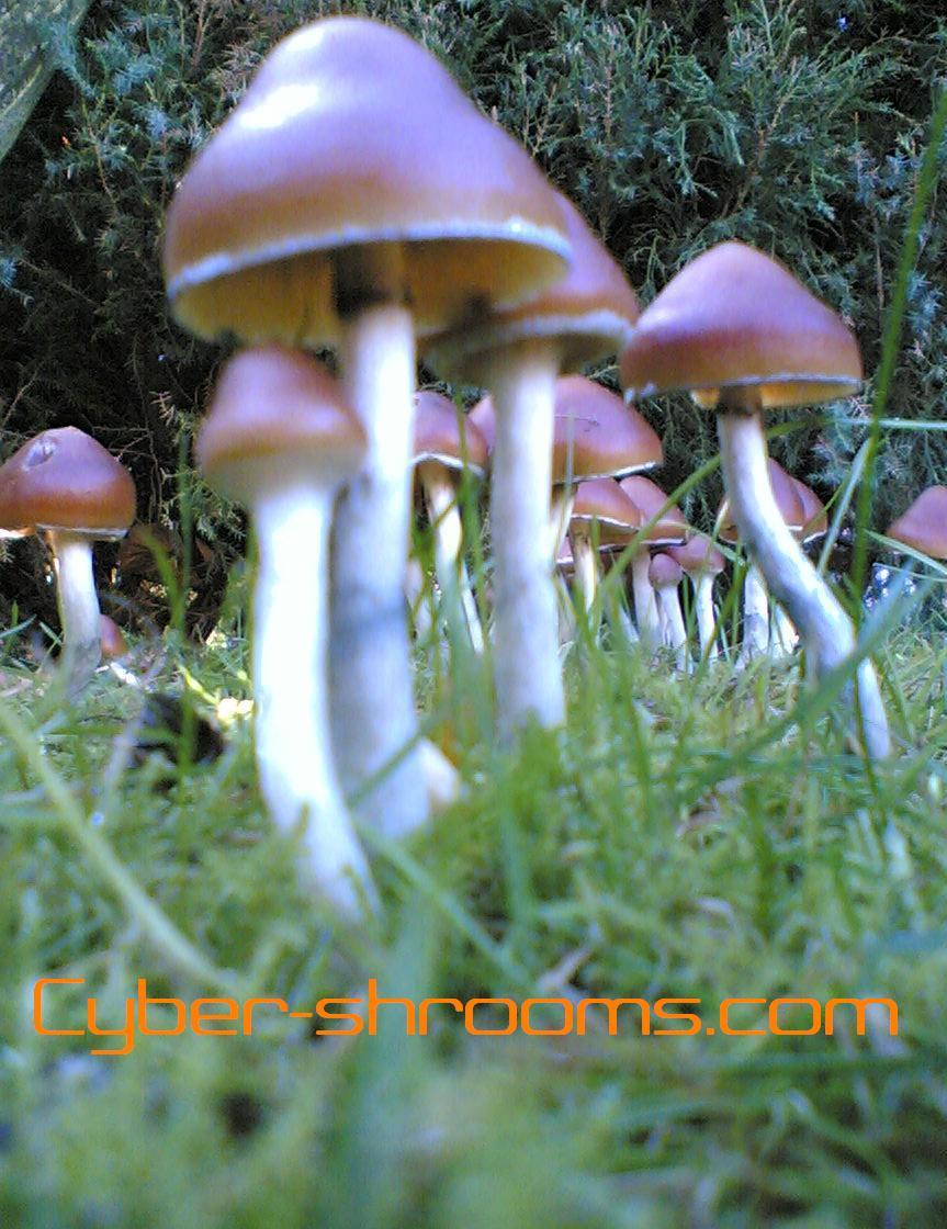 how to grow psilocybe azurescens indoors