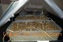 Psilocybe tampanensis growkit (Spw)