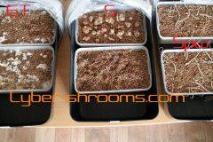 Psilocybe tampanensis growkits mixed