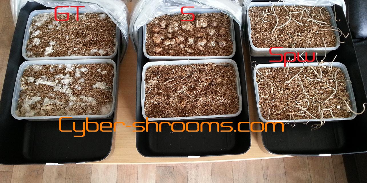 Psilocybe tampanensis growkits mixed