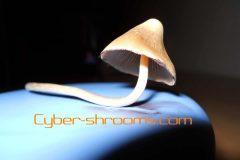 Mushroom Psilocybe mexicana