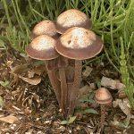 Panaeolus subbalteatus / cinctulus
