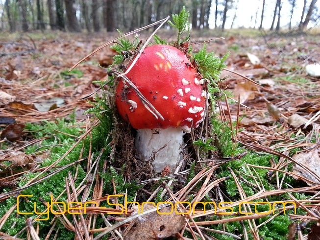 Amanita-muscaria-cultivation