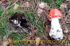 Amanita muscaria cultivation